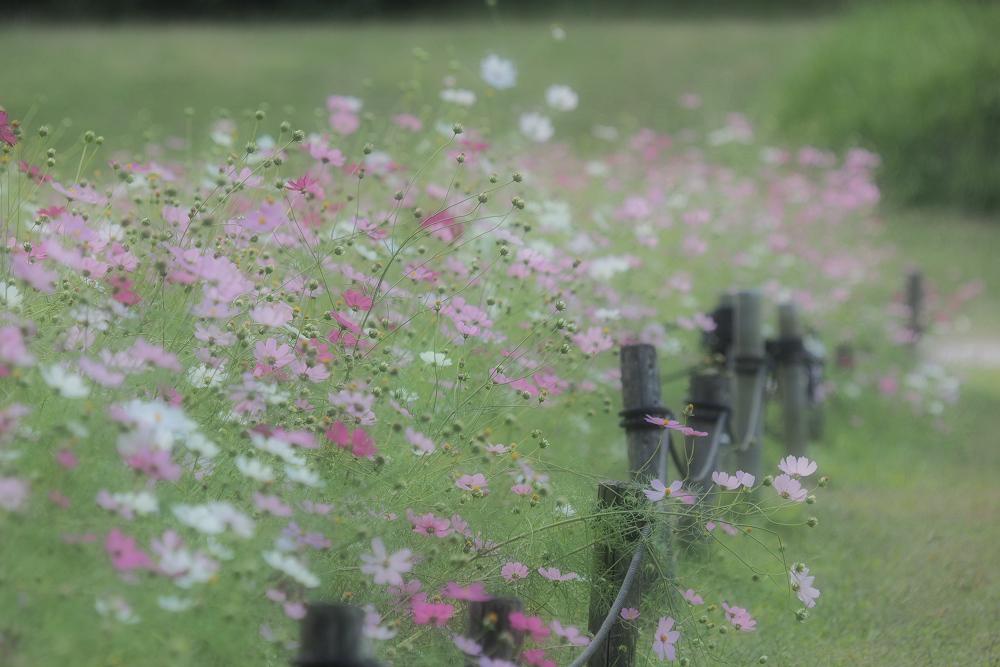 秋桜 2014                           _f0021869_23584758.jpg
