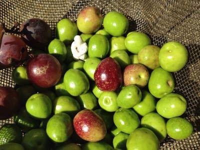 オリーブ収穫して塩漬け挑戦始め_b0087077_19582795.jpg
