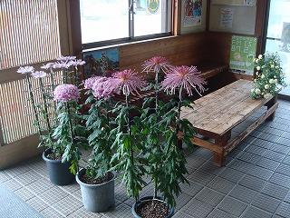 今年も菊の花が・・・_d0155416_15282879.jpg