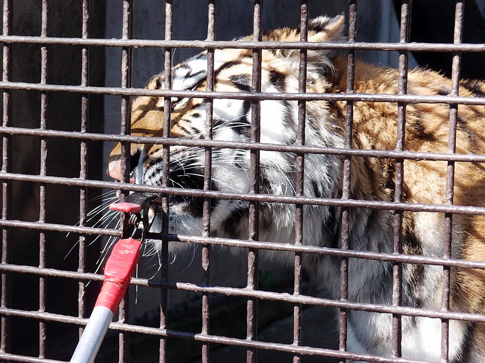 2014.10.25 宇都宮動物園☆トラのチグさん【Tiger】_f0250322_2312227.jpg