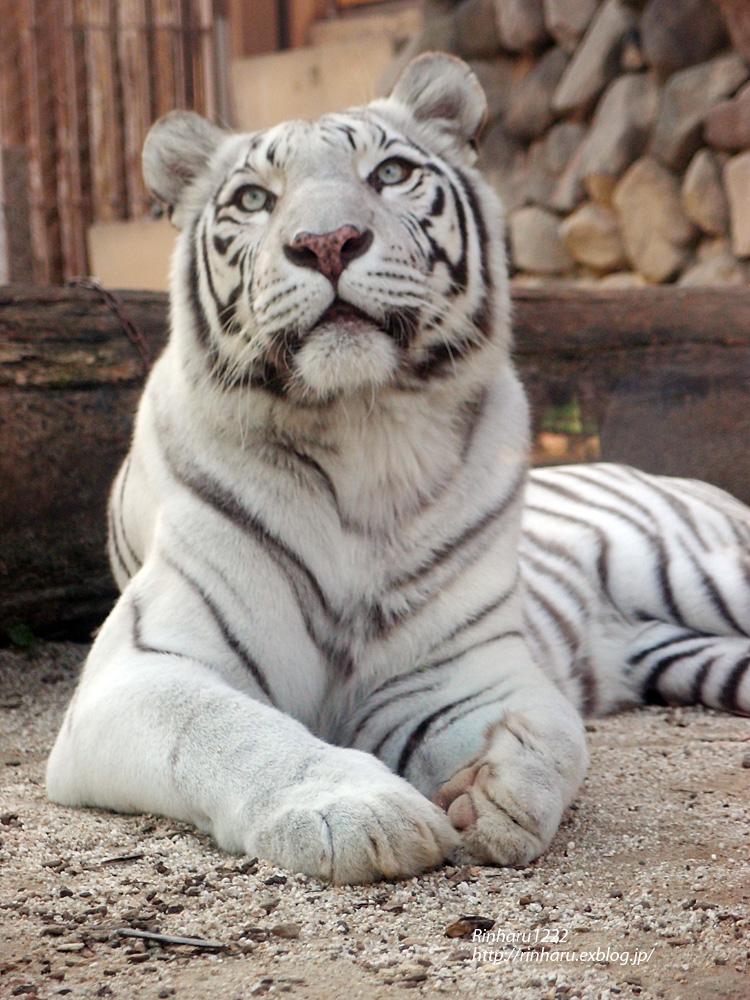 2014.10.18 東武動物公園☆ホワイトタイガーのカーラ【White tiger】_f0250322_2362132.jpg