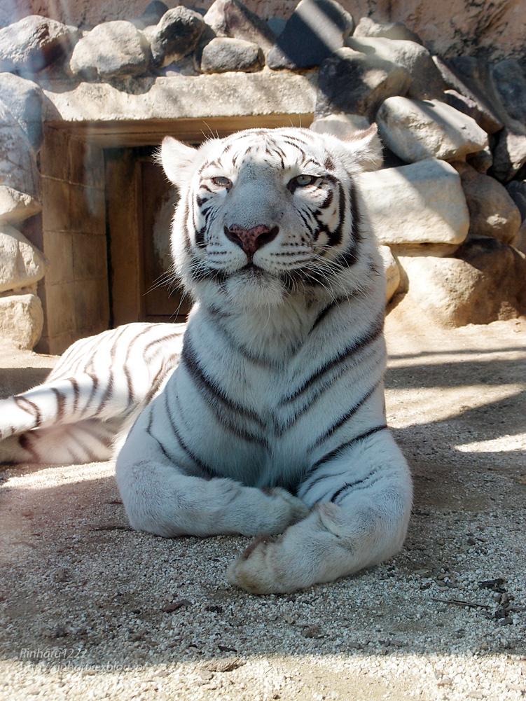 2014.10.18 東武動物公園☆ホワイトタイガーのカーラ【White tiger】_f0250322_2362652.jpg