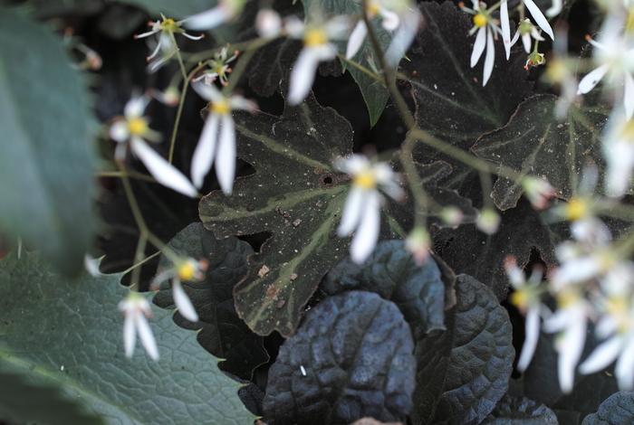 Saxifraga cortusaefolia var. atropurpurea_a0194582_13541951.jpg