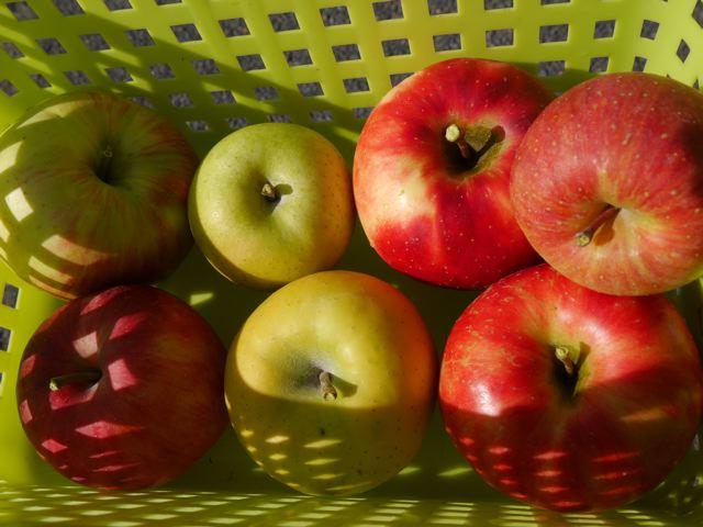 リンゴ狩り in ibaraki_f0144003_22580630.jpg