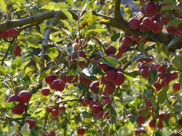 リンゴ狩り in ibaraki_f0144003_22582958.jpg