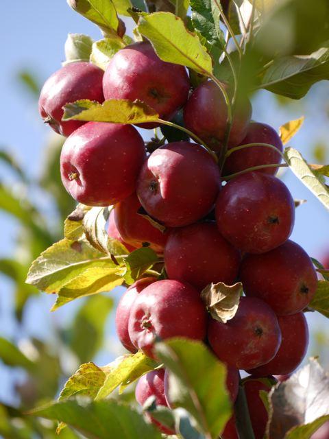 リンゴ狩り in ibaraki_f0144003_22583593.jpg