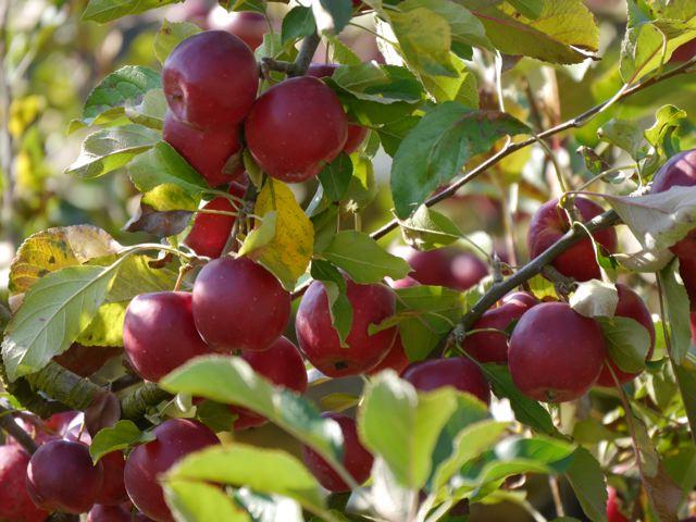 リンゴ狩り in ibaraki_f0144003_22584296.jpg