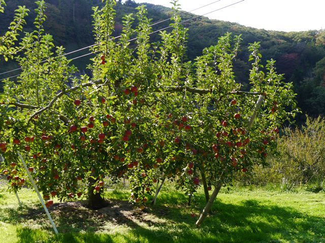 リンゴ狩り in ibaraki_f0144003_23005746.jpg