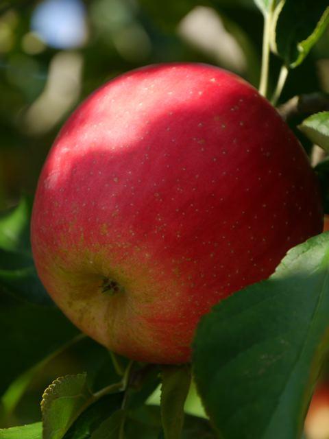 リンゴ狩り in ibaraki_f0144003_23011255.jpg