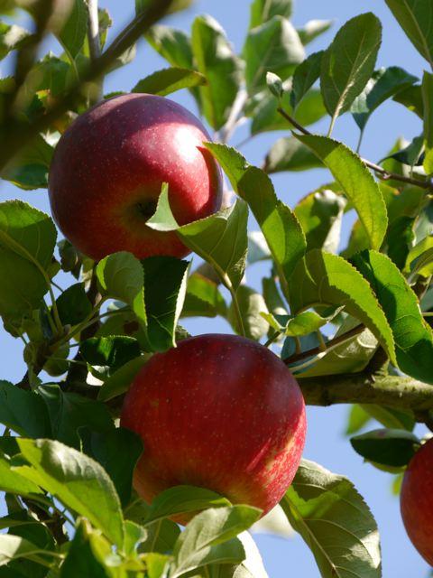 リンゴ狩り in ibaraki_f0144003_23012199.jpg