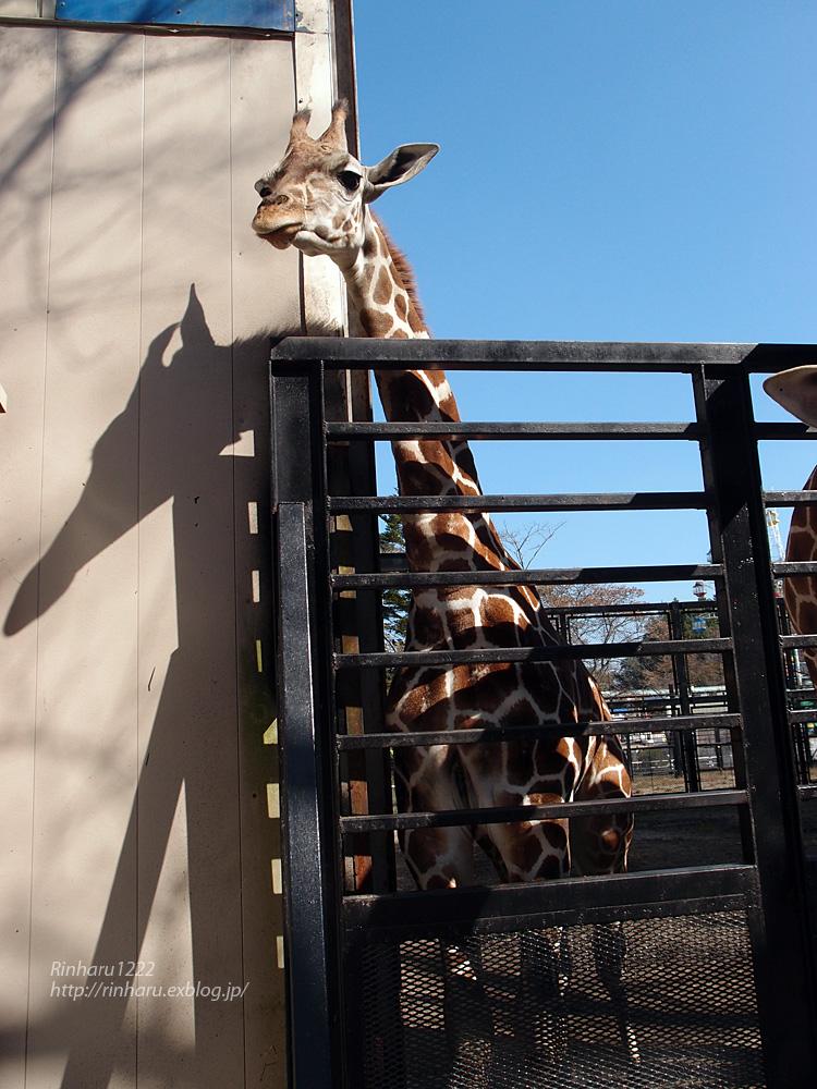 2014.10.25 宇都宮動物園☆キリンのもみじちゃんお誕生日会【giraffe】_f0250322_2203916.jpg