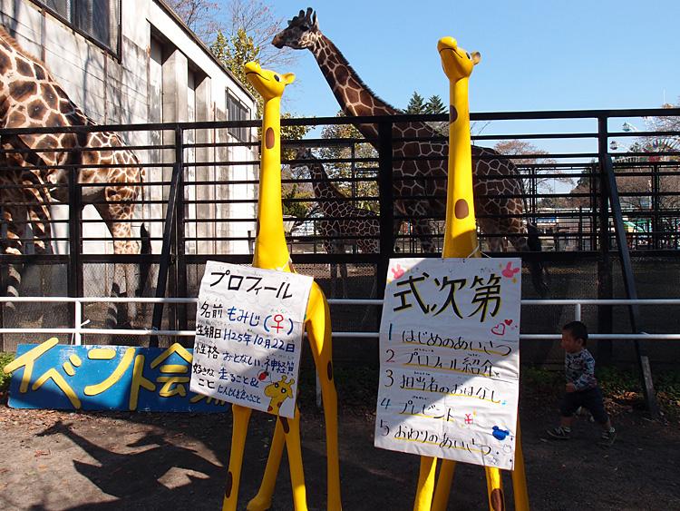 2014.10.25 宇都宮動物園☆キリンのもみじちゃんお誕生日会【giraffe】_f0250322_2212473.jpg