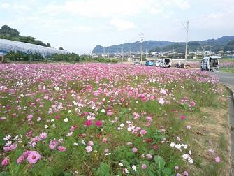 浅海原のコスモス畑(詳細編)_c0034228_21105410.jpg