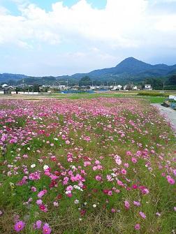 浅海原のコスモス畑(詳細編)_c0034228_21111658.jpg