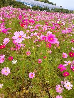 浅海原のコスモス畑(詳細編)_c0034228_2111526.jpg