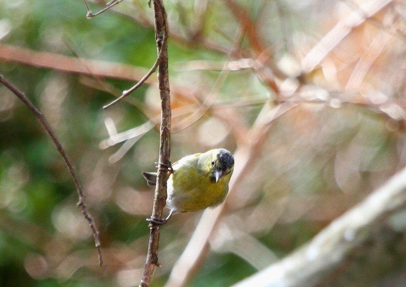 冬期は数十羽の群れで行動_b0346933_534564.jpg