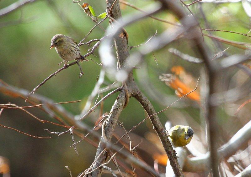 冬期は数十羽の群れで行動_b0346933_5351523.jpg