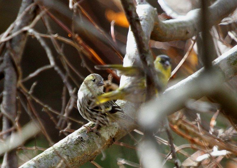 冬期は数十羽の群れで行動_b0346933_535265.jpg
