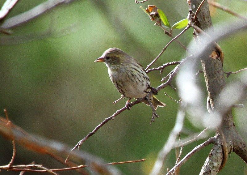 冬期は数十羽の群れで行動_b0346933_53591.jpg