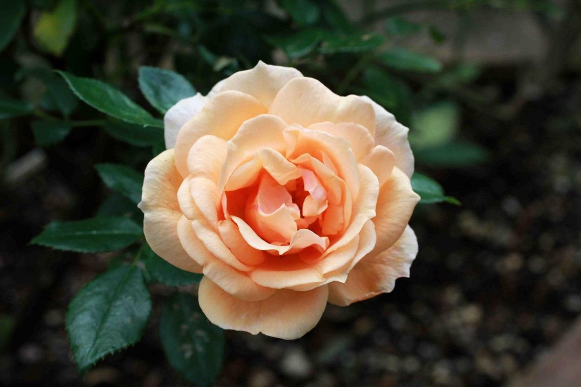 薔薇の香りに誘われて_a0107574_18532186.jpg