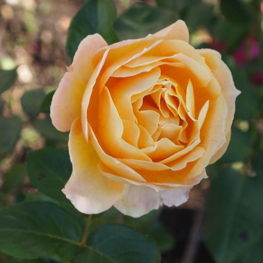 函館でもバラ咲いてます_a0292194_22345973.jpg