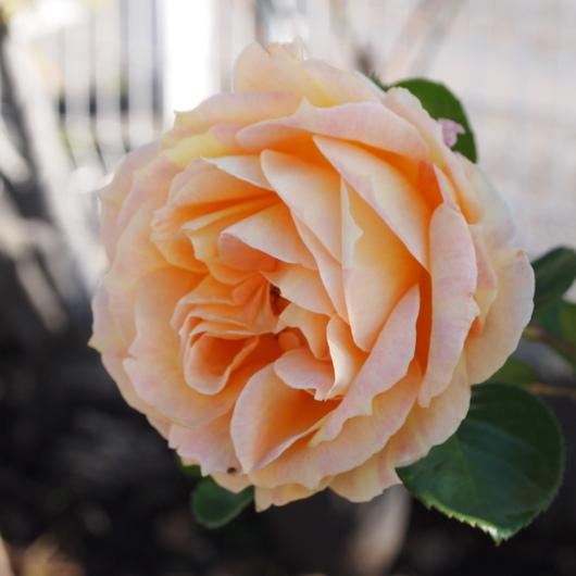 函館でもバラ咲いてます_a0292194_2235186.jpg