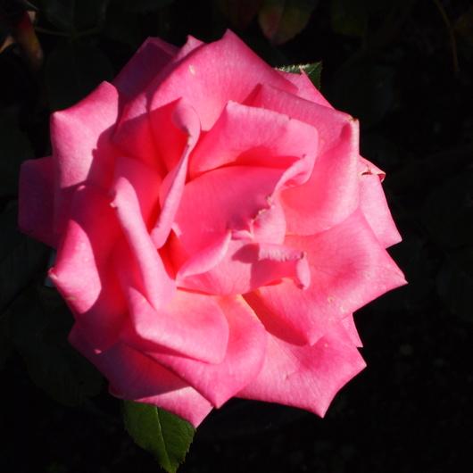 函館でもバラ咲いてます_a0292194_22373330.jpg