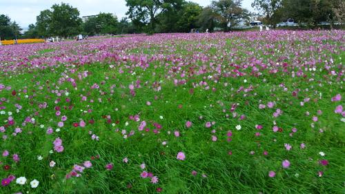 秋桜_f0213410_11275585.jpg