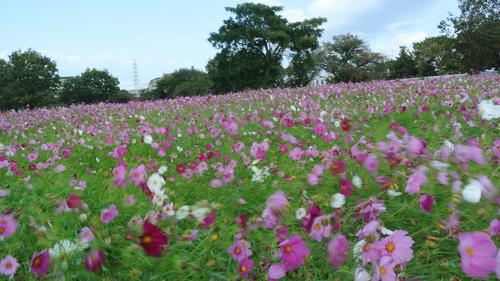 秋桜_f0213410_11312850.jpg