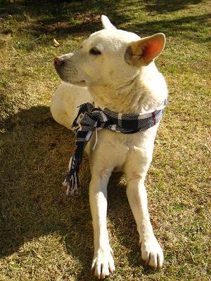一生で一度、出会った犬 ~迷い犬だったシロ~_a0107574_18563129.jpg