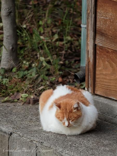 猫のいる風景 近所の茶白ちゃん_b0133053_115871.jpg