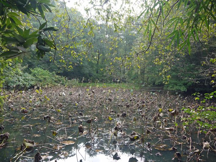 ひどい、台峯・谷戸の池が本当の蓮田になっちゃった10・26_c0014967_16121024.jpg