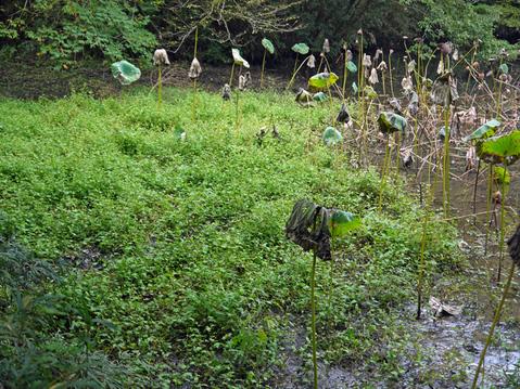 ひどい、台峯・谷戸の池が本当の蓮田になっちゃった10・26_c0014967_16124417.jpg