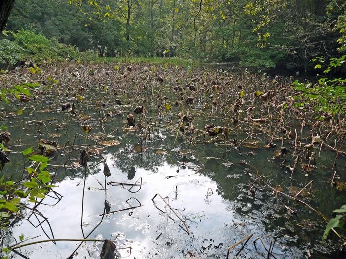 ひどい、台峯・谷戸の池が本当の蓮田になっちゃった10・26_c0014967_1615277.jpg