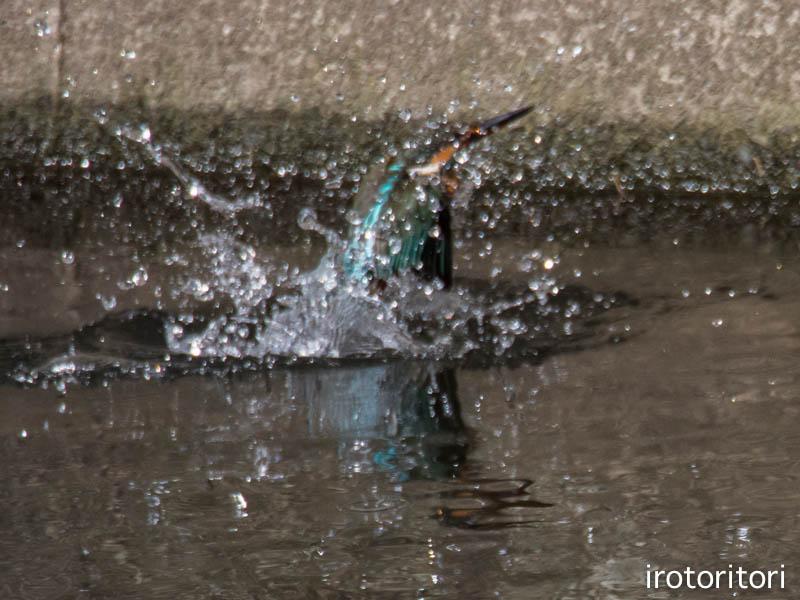水浴び  (カワセミ)  2014/10/27_d0146592_2116617.jpg