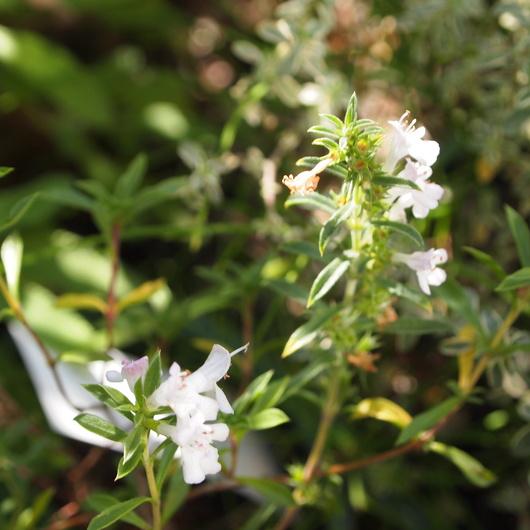 ウィンターセイボリーのお花と柘榴のスープ_a0292194_21272399.jpg