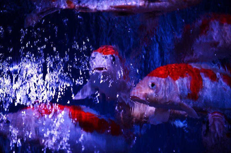 アートアクアリウム城~京都・金魚の舞~ 其の一_f0032011_2010497.jpg