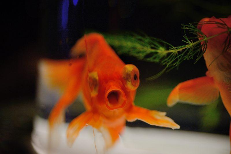 アートアクアリウム城~京都・金魚の舞~ 其の一_f0032011_2011542.jpg