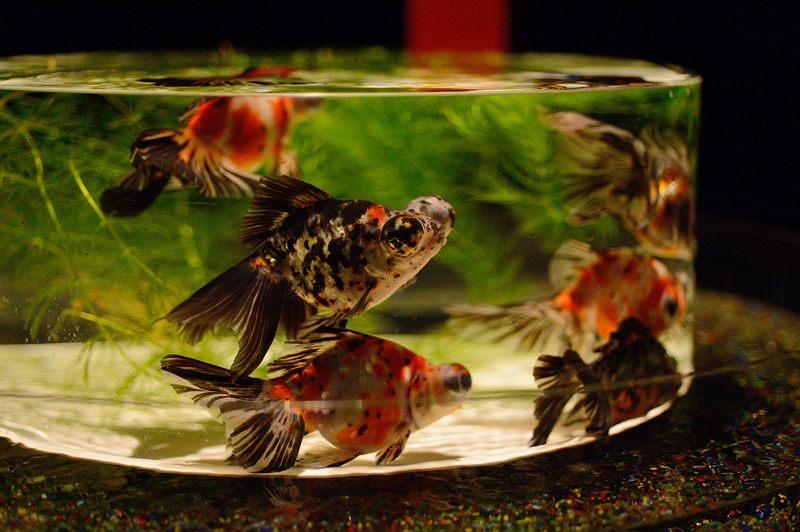 アートアクアリウム城~京都・金魚の舞~ 其の一_f0032011_2014546.jpg