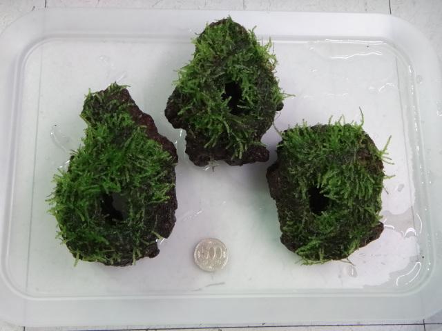 141030 熱帯魚・金魚・水草・観葉植物_f0189122_13352491.jpg