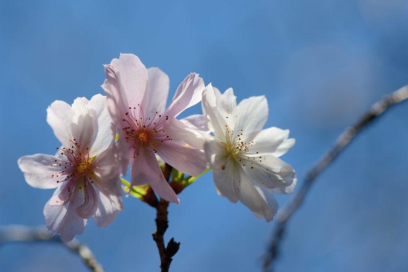十月桜@平野神社_f0032011_19393693.jpg