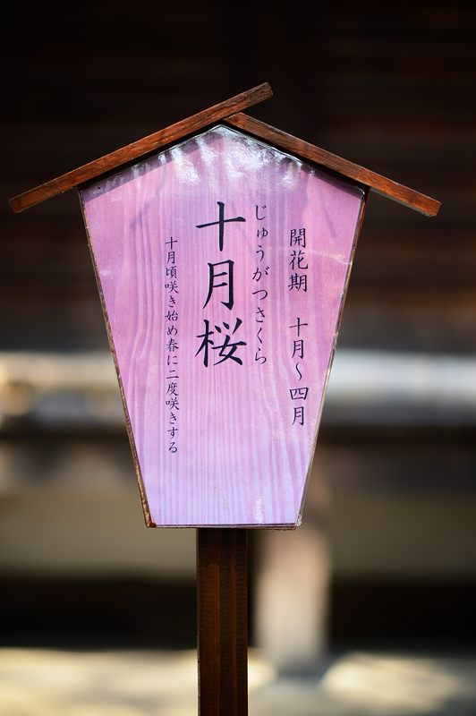十月桜@平野神社_f0032011_19394853.jpg