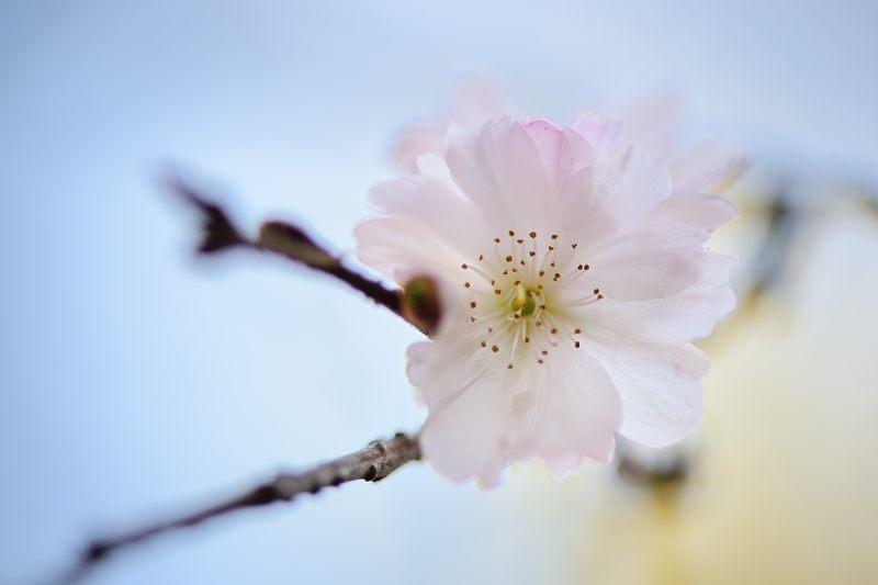 十月桜@平野神社_f0032011_19405160.jpg