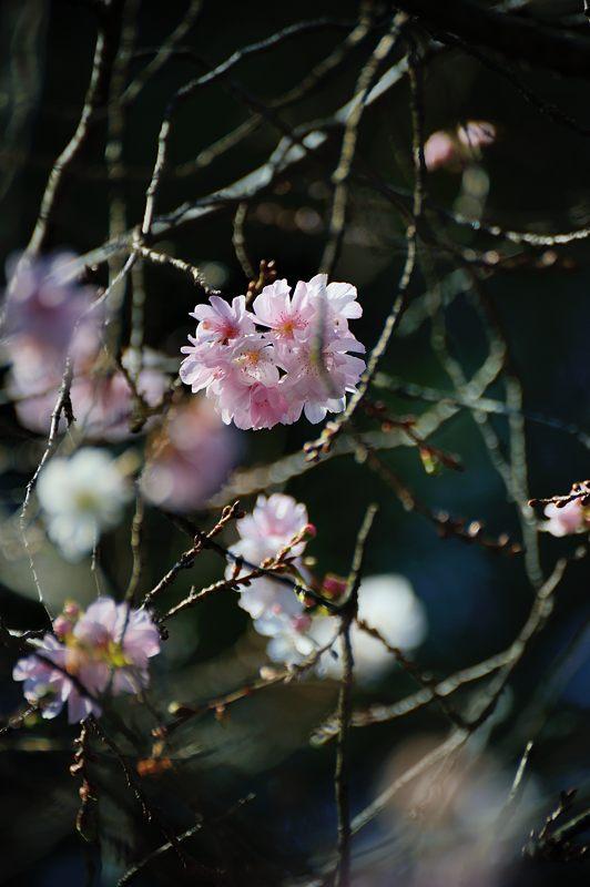 十月桜@平野神社_f0032011_1941229.jpg