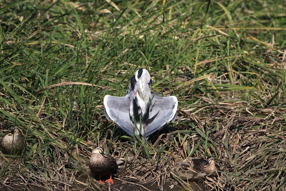 アオサギをMFの沼で_f0239515_19454132.jpg