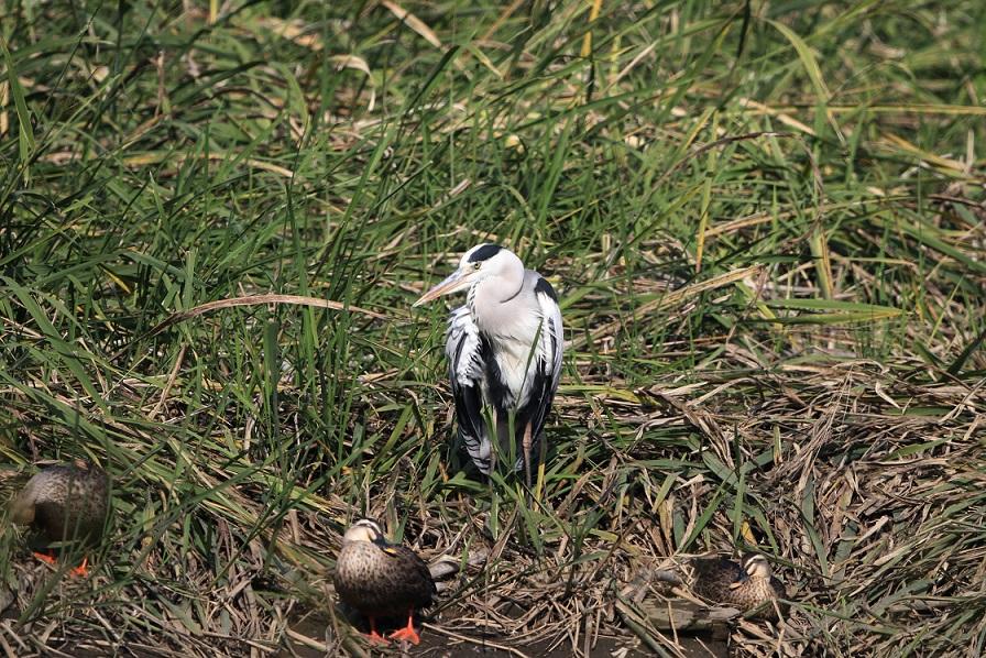 アオサギをMFの沼で_f0239515_1949020.jpg