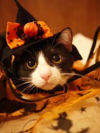 ハロウィン猫 みるきぃ編。_a0143140_2141595.jpg
