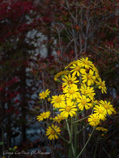 花のある風景 紅葉と黄花_b0133053_15585.jpg