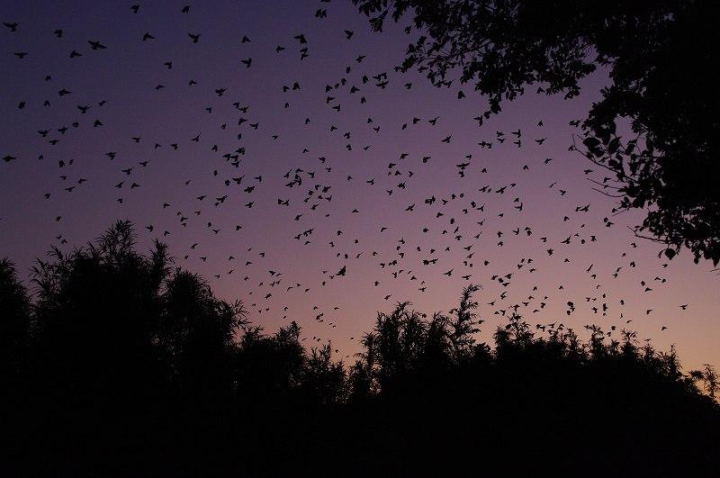 夜のムクドリの群れ