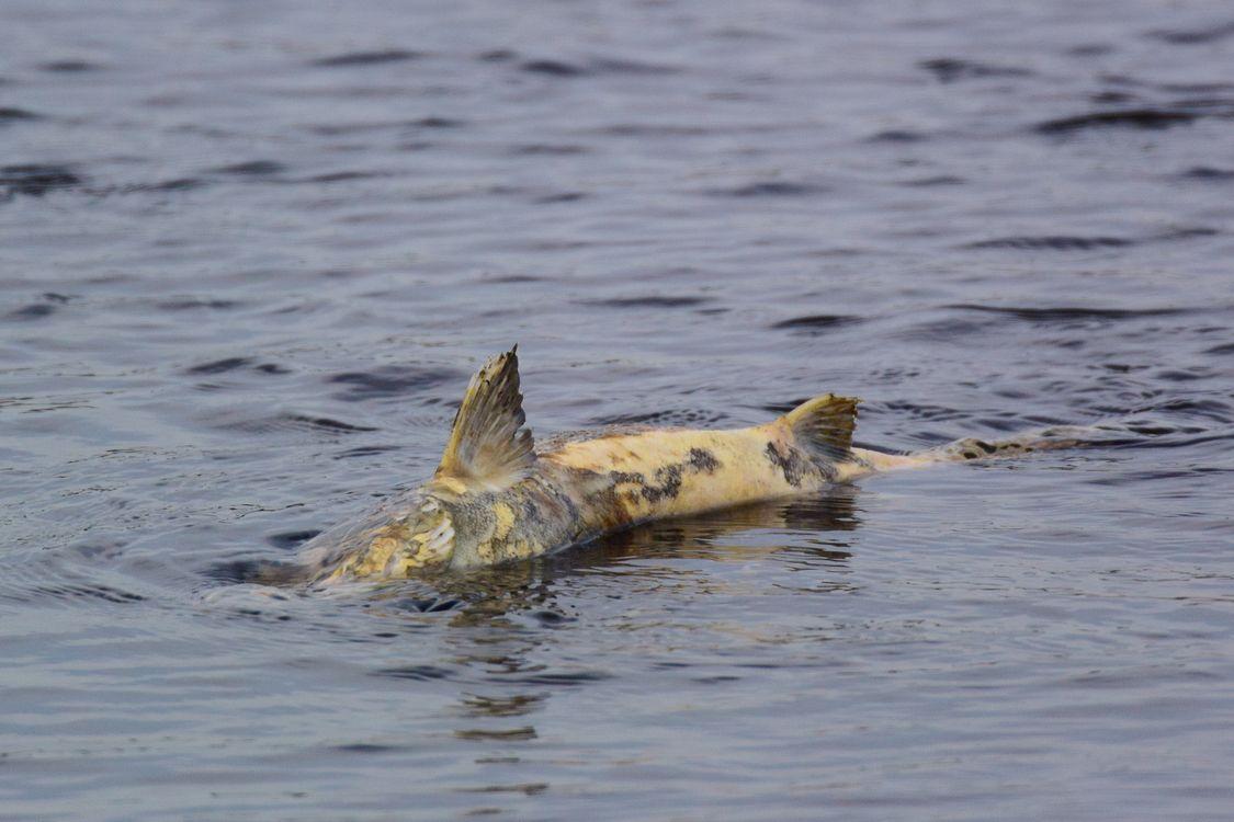 交尾後の鮭の命